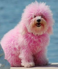I want a big furry pink dog but, sadly, my husband would never say yes. He walks the dogs in our house far too often to agree to a pink pooch! Pink Animals, Cute Animals, Funny Animals, Shih Tzu, Tout Rose, Bff, Pink Poodle, Dog Shaming, Pink Dog