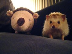 asdfjkl;@#!$ | 15 Hedgehogs With Things That Look Like Hedgehogs