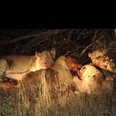 Lion Kill !