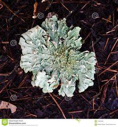 Photo about A macro shot of a parmelia caperata lichen. Image of wavey, moss, caperata - 71097029 Macro Shots, Close Up, Stock Photos, Texture, Mushrooms, Image, Patterns, Art, Surface Finish
