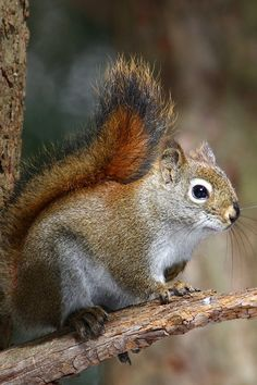 ** Squirrel, eekhoorn