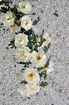 Juhannusruusu - valkoinen ruusu juhannusruusu ruusupensas seinusta kukka kukat valkoiset ruusunkukat kukkiva ruusunoksa oksa kesäkuu kesäinen