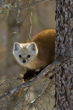 "💙 Pine Marten 2398 by Bill McCormack on ○ Canon EOS ☀ ""Pine Marten Also known as an American Marten in North America This long,. American Marten, Baby Animals, Cute Animals, Barnyard Animals, Pine Marten, Fur Trade, Wild Creatures, Parks Canada, Chipmunks"