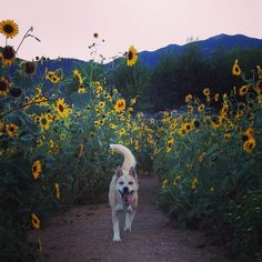 Running through a field of sunflowers at Bear Creek Dog Park! - Colorado Springs, CO - Angus Off-Leash