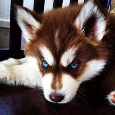 All About Bold Siberian Husky Dogs Exercise Needs Cute Husky Puppies, Siberian Husky Puppies, Siberian Huskies, Red Siberian Husky, Huskies Puppies, Puppy Husky, Brown Husky Puppy, Husky Pomeranian Mix, Wolf Dog Puppy