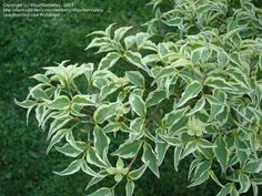 Chinese Dogwood 'Wolf Eyes' (Cornus kousa)  I had one of these in Cincinnati, and it was my favorite.  Gorgeous foliage.  May try one again in my Texas garden after I get some shade going.