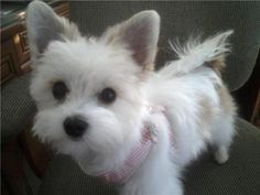 maltese/papillon mix! is it a stuffed animal or a real pet? i can't tell!