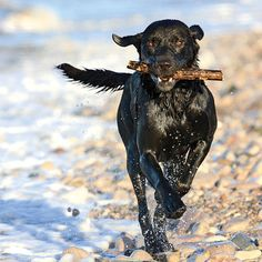 Meet Stanley, a Labrador retriever who loves playing in the waves in Britain's North Wales