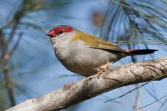 Red-browed Finch | BIRDS in BACKYARDS also known as Red-browed Firetail