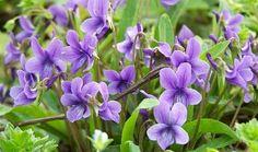 Purpleflower Violet Violaceae Flower Seed Viola by Greenworld1