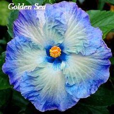 Golden Sea Hibiscus, Hibiscus Seeds, 10 Seeds, Perennial Hibiscus, Hibiscus Flower Idahoseeds http://www.amazon.com/dp/B00LIF25AY/ref=cm_sw_r_pi_dp_lIpwvb0F4T6KJ
