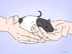 Tips on bonding with you new pet rat