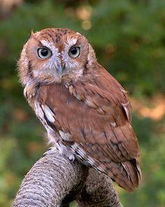 Eastern Screech Owl - Wikipedia, the free encyclopedia