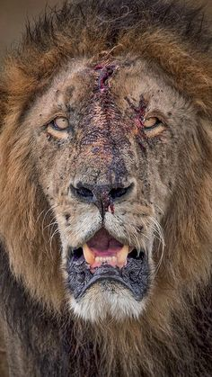 Male Lion - Close-up Portrait Old Warrior with bloody, scarred face after tough internecine(?) fight or kill & meal (? Close Up Portraits, Pet Portraits, Lion Photography, Old Warrior, Lion Wallpaper, Lion Pictures, Male Lion, Majestic Animals, Big Cats