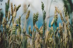 Crop field #1