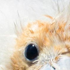 Eye of a Frigate Chick. http://www.galapagosexpeditions.com/islands/animals-wildlife.php