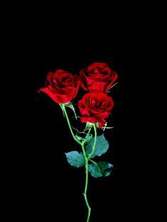 Mini Rosa Roja Paq. de 10 $100  Estos Precios están sujetos a cambios y disponibilidad del Producto.