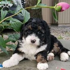 Mini Bernedoodle Puppy in Bethel, Pa Bernedoodle Puppy, Puppies For Sale, Dogs, Animals, Animales, Animaux, Pet Dogs, Doggies, Animal