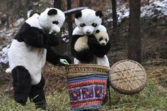 Researchers dressed in panda costumes put a panda cub into a basket before transferring it to a new living environment