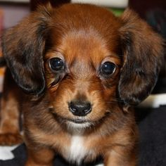 Female Mini-Dachshund Puppy