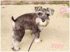 miniature schnauzer grooming styles - Yahoo Image Search results