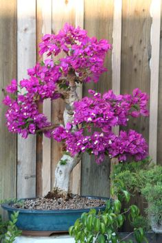 - bougainvillea bonsai - good for sunny winters indoors Bougainvillea Bonsai, Bonsai Plants, Bonsai Garden, Garden Trees, Backyard Plants, Garden Plants, House Plants, Mini Plantas, Bonsai Tree Care