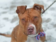 TO BE DESTROYED 03/02/15- Brooklyn Center  HANDSOME - A1028351 *** EXPERIENCED HOME ***  MALE, TAN / WHITE, AM PIT BULL TER MIX, 2 yrs STRAY - STRAY WAIT, HOLD FOR ID Reason STRAY https://www.facebook.com/photo.php?fbid=966196416726571