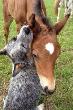 Blue healer and a horse hug