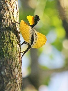 Draco Lizards and Flying Dragons - Strange Rainforest Reptiles Cute Reptiles, Reptiles And Amphibians, Mammals, Nature Animals, Animals And Pets, Cute Animals, Beautiful Creatures, Animals Beautiful, Interesting Animals