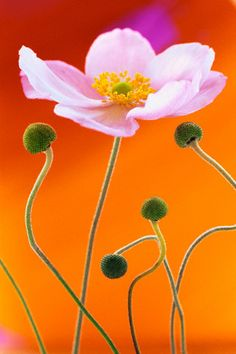 Love the contrast between the orange background and the light pink of the flower.