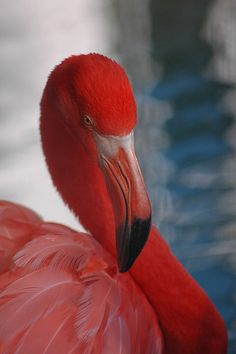Red Flamingo. Flamenc. Flamenco. #Red #Vermell #Rojo