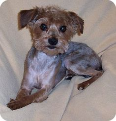 CONOVER, NC - Yorkie, Yorkshire Terrier Mix. Meet Brewster, a dog for adoption. http://www.adoptapet.com/pet/11402435-conover-north-carolina-yorkie-yorkshire-terrier-mix