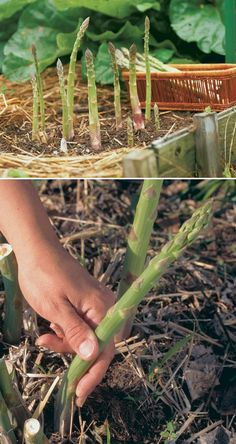 Alternative Gardning: How to grow asparagus plants