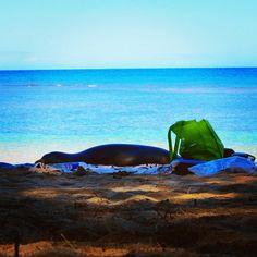 #hawaiianmonkseal