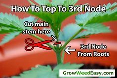 """Main-lining: After plant has grown 6 nodes, top down to the 3rd node. This 3rd node will become your """"hub."""" Source: http://www.growweedeasy.com/main-lining-technique-nugbuckets"""
