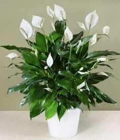 Of all the flowering house plants, Peace Lily care may be the easiest. Get tips for caring for peace lily plants, how to coax flowers, water and fertilize. Peace Lily Plant Care, Peace Plant, Plantas Indoor, Decoration Plante, Inside Plants, Best Indoor Plants, Indoor Herbs, Hardy Plants, Growing Plants