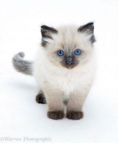 Ragdoll Cats and Kittens | Ragdoll kitten photo - WP14810