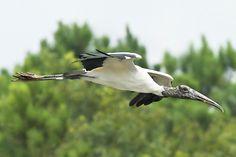Wood Stork in South Carolina   Flickr - Photo Sharing!