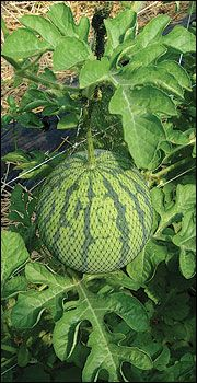 Everything you ever wanted to know about growing melons and caring for melons. *Bram wants watermelon* Growing Melons, Growing Plants, Growing Vegetables, Fruit Garden, Edible Garden, Garden Plants, Farm Gardens, Outdoor Gardens, Organic Gardening