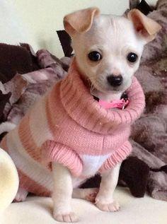 Chihuahua in sweater image via www.Facebook.com/CuteChihuahuaFans