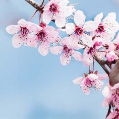 Spring cherry blossoms #cherry #blossoms #sakura #flowers #pink, #blue #wooden #tree #spring #rustic #branch #background #nature #japan #japenese #bloom #white #blooming #natural #fresh# beatiful #garden