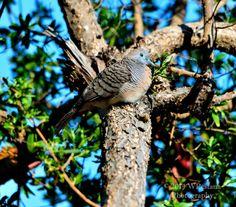 Tortora by Welbis Pestana on My Animal, Birds, Animals, Animales, Animaux, Bird, Animal Memes, Animal, Animais