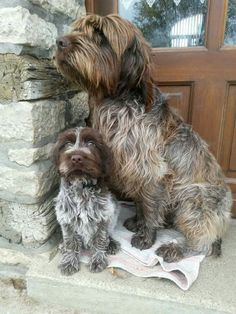 Wirehaired Pointing Griffon & Pup ~ Classic Look