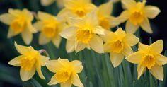 Нарциссы зацветают одними из первых в наших садах весной. Они прекрасно подходят для срезки, быстро размножаются, не требуют ежегодной выкопки и очень редко болеют.