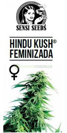 Hindu Kush Feminizada (Sensi Seeds) Novedad 2017, Semilla de Cannabis Feminizada.