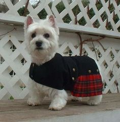 Westie all dressed up.. Properly dressed!