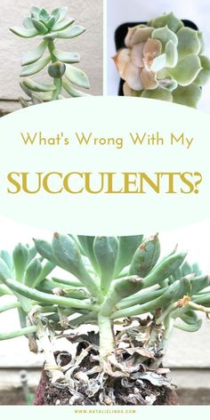 What's Wrong with My Succulent? Learn all about common succulent problems and how to fix and prevent them! This will help you identify problems before they get out of hand and also help identify what's just a normal, natural process. Succulent Potting Mix, Succulent Outdoor, Propagating Succulents, Growing Succulents, Succulent Gardening, Succulents In Containers, Cacti And Succulents, Planting Succulents, Container Gardening