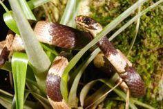 The Mine Snake, The Sibon noalamina is a small (53 centimeters or 21 inches in length) non-venomous, snail eating snake that obviously feeds on snails but will also partake in eating earthworms, slugs & occasionally amphibian eggs; can only be found in the Serranía de Tabasará mountain range of western Panama. Unfortunately, the way of life in this unique & diverse mountain range is in jeopardy of becoming obsolete.