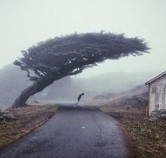 Tree growing at a windy place