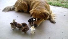Baby chicks are very affectionate and when their mother is no around they are looking for someone to take care of them. Luckily they've found this cute dog. This dog is treating the little chicks very carefully and treats them like they are its own babies.
